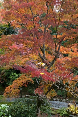 Autumn colour in a temple garden - Kyoto.