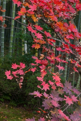 Red maple leaves on green bamboo - Kyoto.