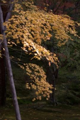 Sublime Autumn yellow - Kyoto.
