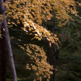 Sublime Autumn yellow - Kyoto.