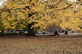 Canopy and carpet of Autumn yellow - Tokyo.