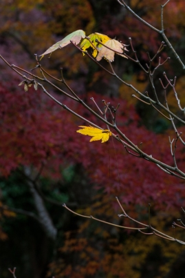 Hanging on to Autumn - Kyoto.