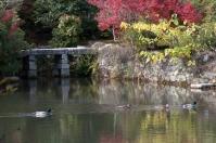 Ryoanji - duck family on Kyoyochi Pond
