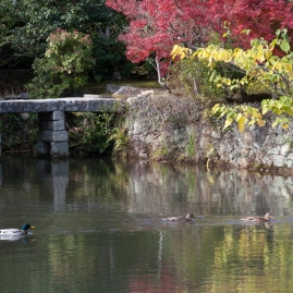 Ryoanji - duck family on Kyoyochi Pond