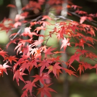 Ryoanji red