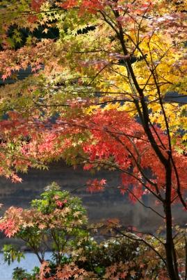 Ryoanji - autumn colour over the karesansui