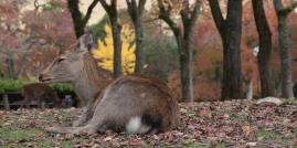Nara - Deer resting in park