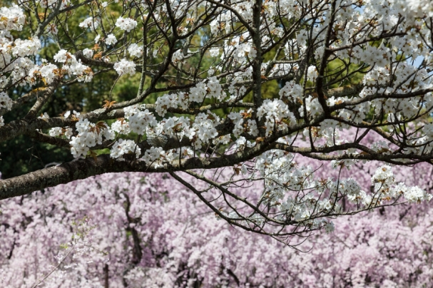 Cherry Blossom - Kyoto - Heian Shrine pic 1