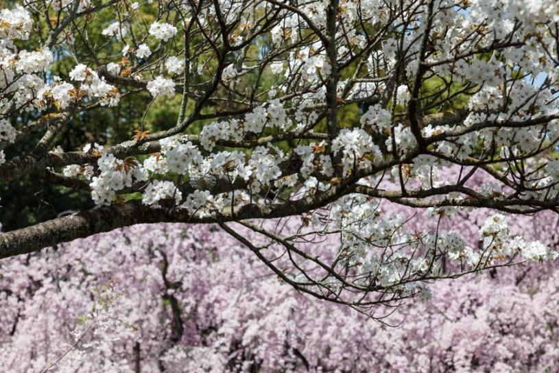 Cherry Blossom - Kyoto - Heian Shrine pic 1