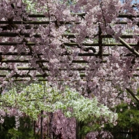 Cherry Blossom - Kyoto - Heian Shrine pic 2