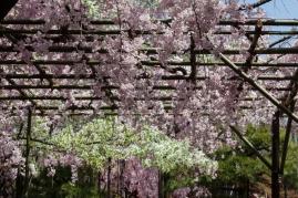 Cherry Blossom - Kyoto - Heian Shrine pic 2