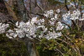 Cherry Blossom - Kyoto - Heian Shrine pic 3