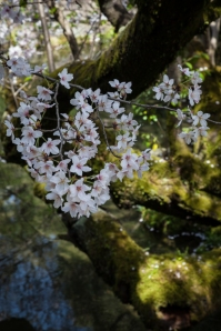 Cherry Blossom - Kyoto - Heian Shrine pic 4