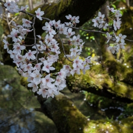Cherry Blossom - Kyoto - Heian Shrine pic 4