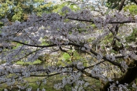 Cherry Blossom - Kyoto - Heian Shrine pic 5