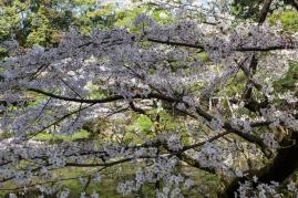 Cherry Blossom - Kyoto - Heian Shrine pic 5