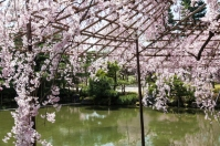 Cherry Blossom - Kyoto - Heian Shrine pic 7