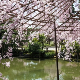 Cherry Blossom - Kyoto - Heian Shrine pic 7