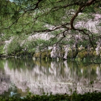 Cherry Blossom - Kyoto - Heian Shrine pic 8