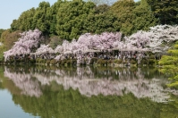 Cherry Blossom - Kyoto - Heian Shrine pic 9