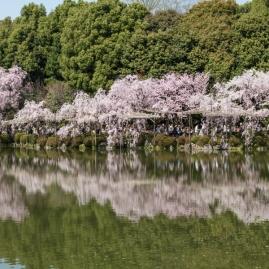 Cherry Blossom - Kyoto - Heian Shrine pic 9