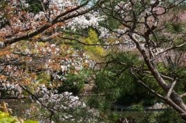 Cherry Blossom - Kyoto - Ryoanji pic 1