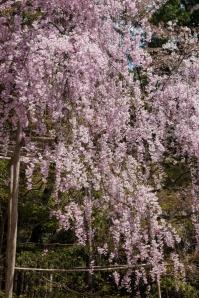 Cherry Blossom - Kyoto - Ryoanji pic 2