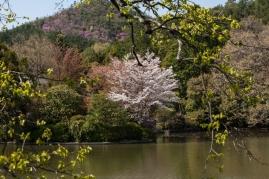 Cherry Blossom - Kyoto - Ryoanji pic 3