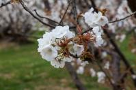 Cherry Blossom - Kyoto - Ninnaji pic 1