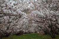 Cherry Blossom - Kyoto - Ninnaji pic 2