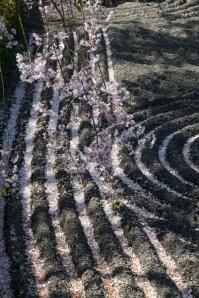 Cherry Blossom - Kyoto - Taizo-in pic 1