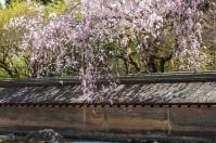 Cherry blossom at Ryoanji