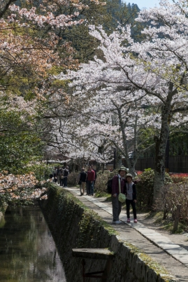 Sakura along the Philosopher's Path