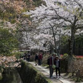 Sakura along the Philosopher's Path