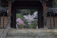 Welcoming Sakura