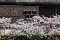 Sakura near Exhibition Hall