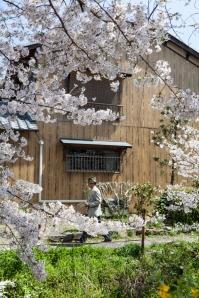 Sakura and wooden house