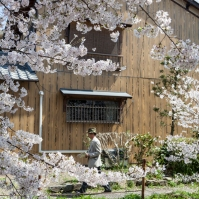 Sakura and wooden house