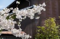 Sakura and corrugated steel house