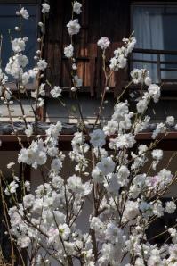 Young Sakura Tree