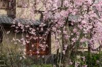 Sakura and modern Japanese style house - pic 1