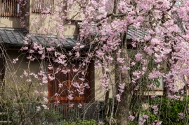Sakura and modern Japanese style house - pic 1
