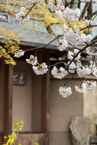 Sakura and modern Japanese style house - pic 2
