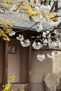 Sakura and modern Japanese style house - pic 2
