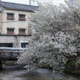 Sakura and old apartment block