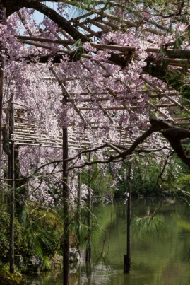 In the Shade of Sakura