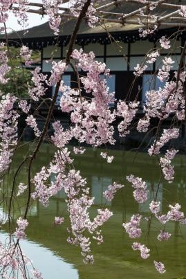 Sakura at Heian Shrine