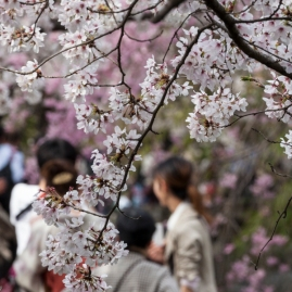 Hanami along Philosopher's Path