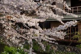 Sakura by Kyoto Canal