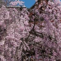 Sakura at Kiyomizudera